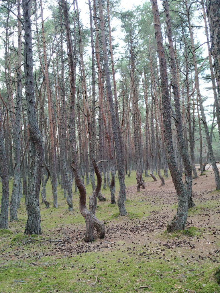 tancici les, kurska kosa, kaliningradska oblast
