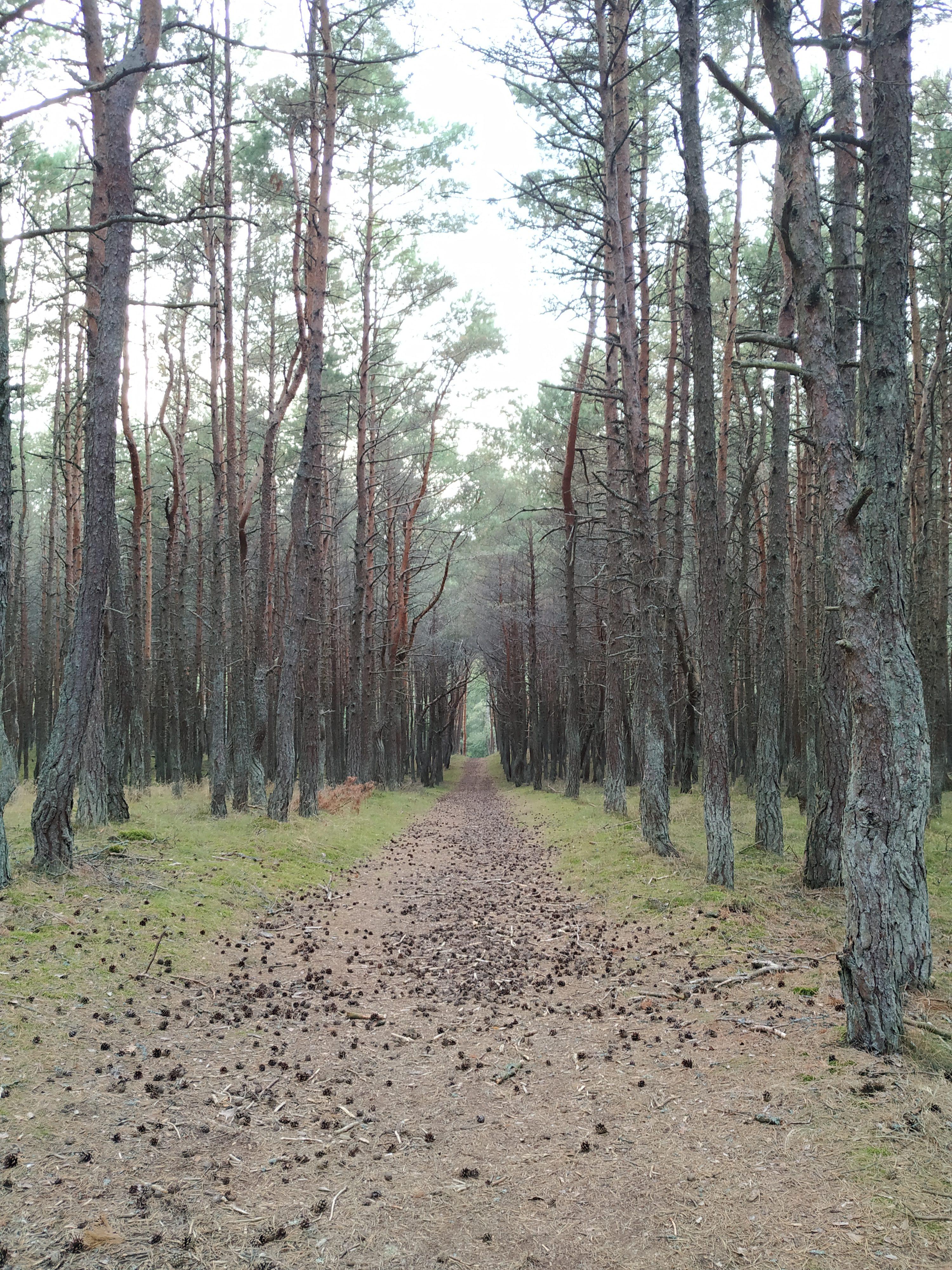 kurska kosa, tancici les, kaliningradska oblast