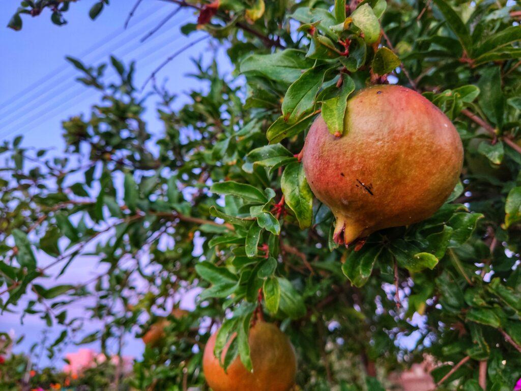 Granátová jablíčka, Gouves